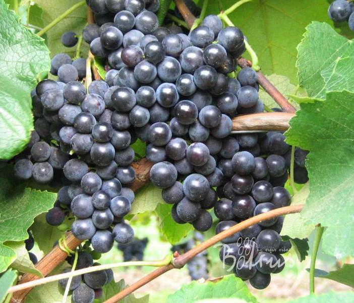 Pilzresistente Weinreben