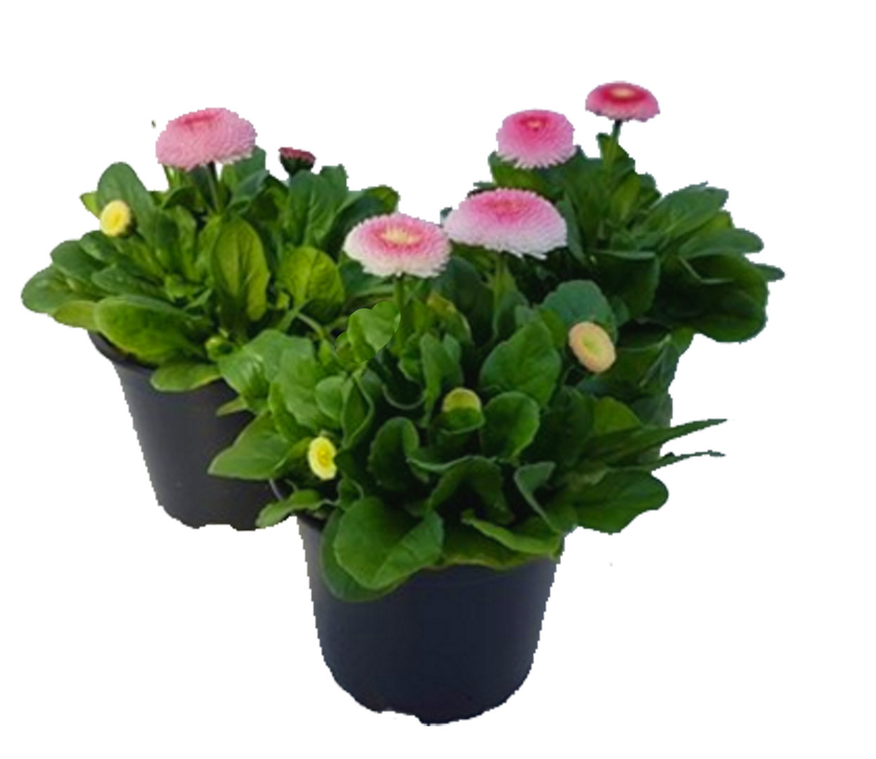 bellis perennis 39 erdbeersahne 39 g nsebl mchen rosa gro e bl ten 12 cm topf pflanzen versand. Black Bedroom Furniture Sets. Home Design Ideas