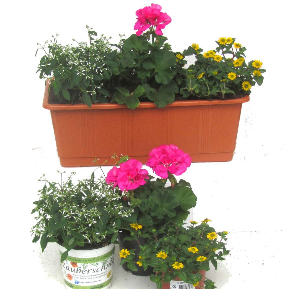 Balkonpflanzen Set Fur Balkonkasten 40 60 Cm Lang Sommer Pflanzen