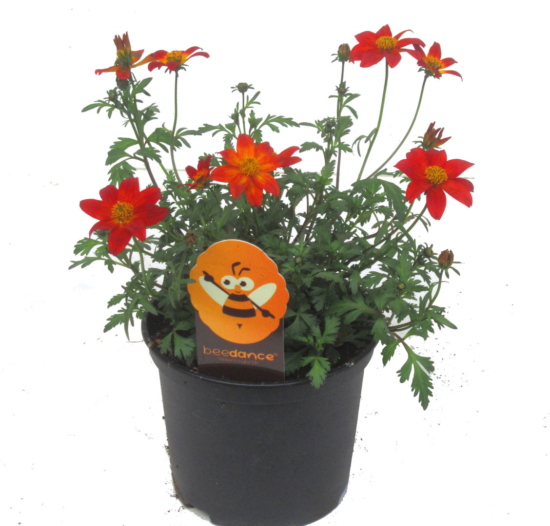 Zimmerpflanzen Die Direkte Sonne Vertragen grabpflanzen für die sonne pflanzen versand für die besten