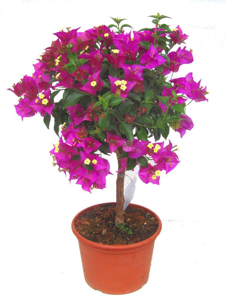 Gemeinsame Bougainvillea Glabra Stämmchen - Pflanzen Versand für die besten @MA_92