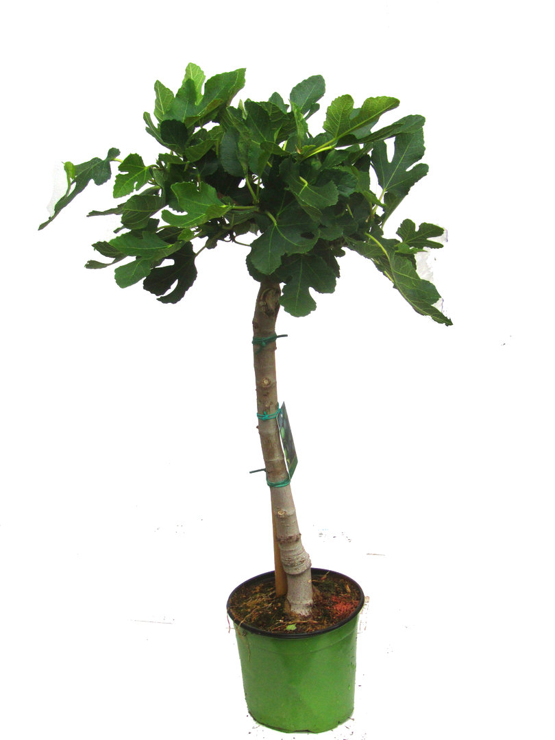 ficus carica feigenbaum st mmchen k belpflanze pflanzen versand f r die besten. Black Bedroom Furniture Sets. Home Design Ideas