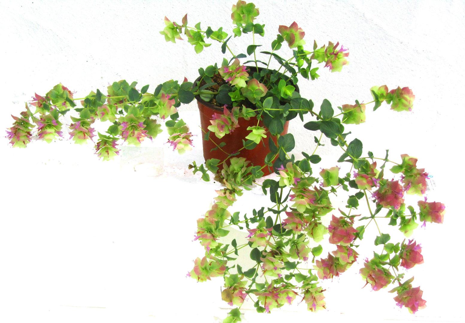 Origanum 39 kent beauty 39 hopfenbl tiger origano dost pflanzen versand f r die besten - Rankende zimmerpflanzen ...