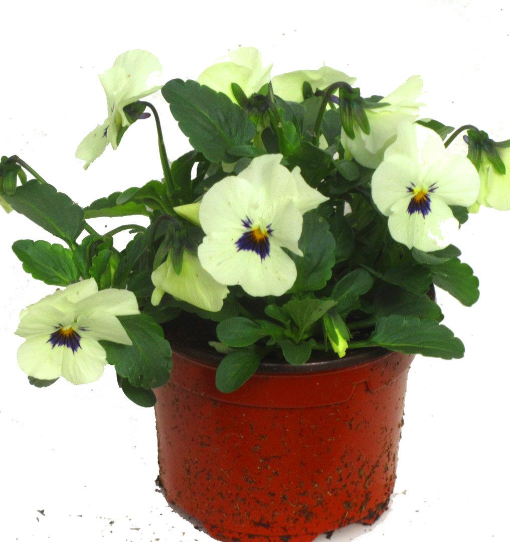 viola cornuta hornveilchen pflanzen versand harro 39 s pflanzenwelt kaufen bestellen online. Black Bedroom Furniture Sets. Home Design Ideas