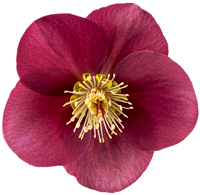Helleborus frostkiss 'Anna's Red' -  Rote Christrose  'Winter Angels' 15 cm Topf