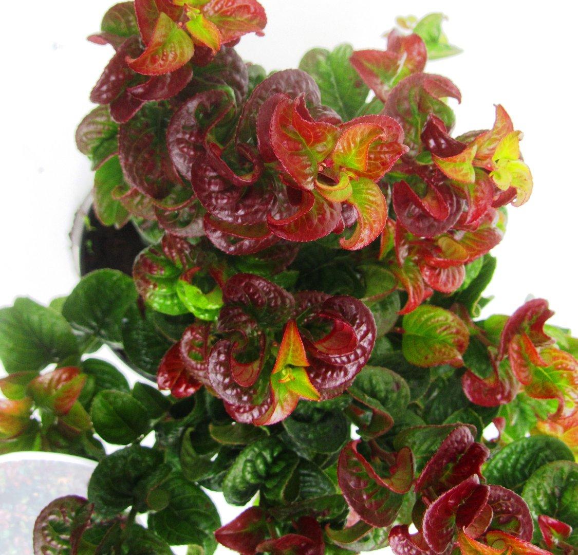 leucothoe axillaris curly red lavendelheide pflanzen versand f r die besten winterharten. Black Bedroom Furniture Sets. Home Design Ideas