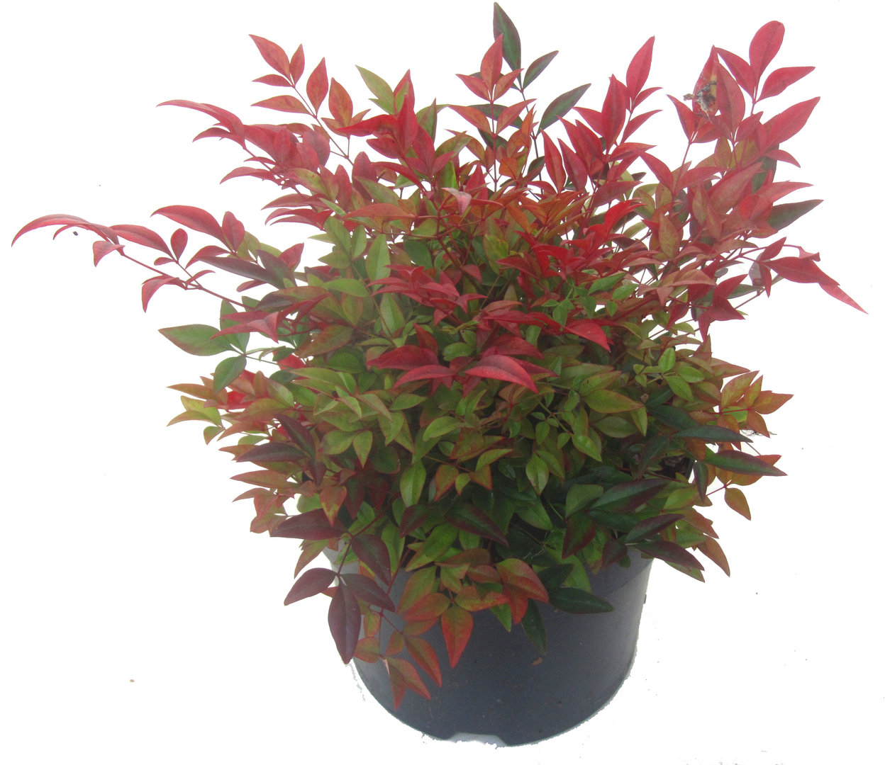nandina domestica 39 gulfstream 39 scheinbambus himmelsbambus immergr ner winterharter kleiner. Black Bedroom Furniture Sets. Home Design Ideas