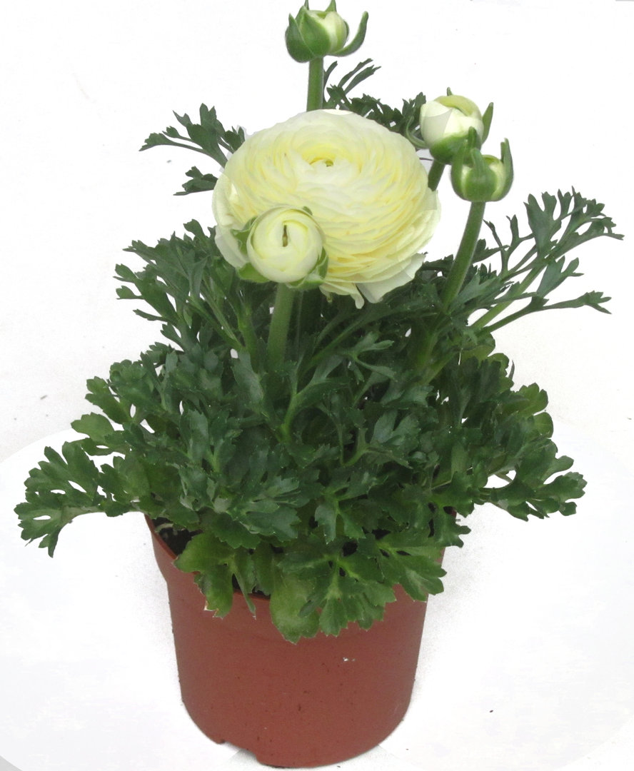 ranunculus ranunkeln pflanzen versand harro 39 s pflanzenwelt kaufen bestellen online. Black Bedroom Furniture Sets. Home Design Ideas