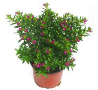 grabpflanzen f r die sonne pflanzen versand f r die besten winterharten balkonpflanzen. Black Bedroom Furniture Sets. Home Design Ideas