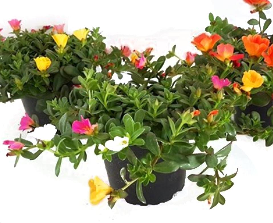 Portulaca carneval portulakr schen dreifarbig pflanzen for Pflanzen fur pralle sonne