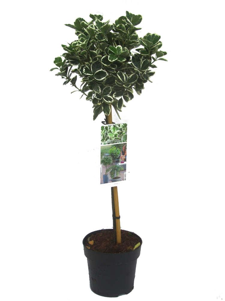 Stämmchen Euonymus Jap. \'Kathy\' grün-weiß - Pflanzenversand ...