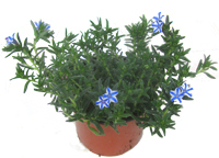 Lithodora 'Star' ®  -  Steinsame blau weiß