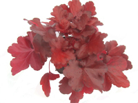 Heuchera 'FOREVER® RED' - Purpurglöckchen