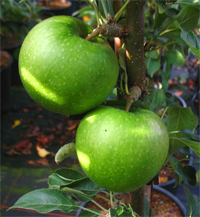 Apfel 'Granny Smith' Compact M 7 - Buschbaum