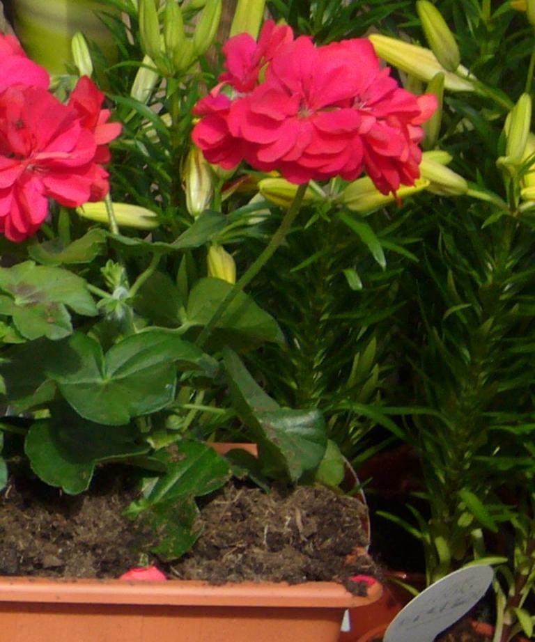 bepflanzter balkonkasten mit h ngenden geranien einfarbig pflanzen versand f r die besten. Black Bedroom Furniture Sets. Home Design Ideas