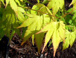 Pflanzen kaufen balkonpflanzen zimmerpflanzen steingartenpflanzen - Japanische zimmerpflanzen ...