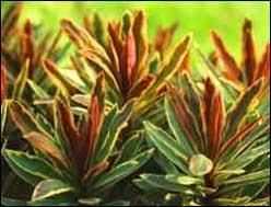 Bunte_Blattpflanzen_Pflanzen_Shop.jpg