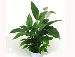 Pflanzen kaufen balkonpflanzen zimmerpflanzen - Schattenpflanzen zimmer ...